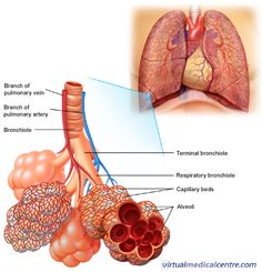 Respiratory System ➡ Alveoli La unidad funcional del pulmon son los alveolos, su funcion, es hacer el intercambio gaseoso entre el aire y la sangre.