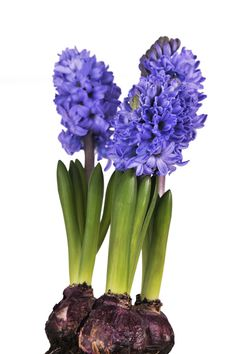 Spring ahead: How to plant Hyacinth bulbs this winter >> http://blog.hgtvgardens.com/spring-ahead-planting-hyacinth-bulbs-this-winter/?soc=pinterest