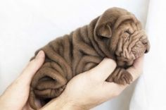I also love Shar Pei's - we have two.