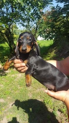 Beautiful mini #dachshund boy girl | Stamford, Lincolnshire | Pets4Homes