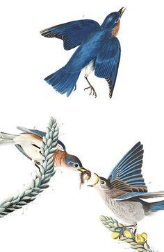 "John James Audubon Blauwe sialia (Blue-bird) - from ""The Birds of America"" by John James Audubon Audubon Prints, Audubon Birds, Painting Prints, Fine Art Prints, Rock Painting, Blue Bird Art, Sibylla Merian, Birds Of America, North America"