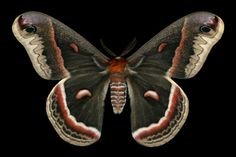 Cecropia moth | Jim des Rivières