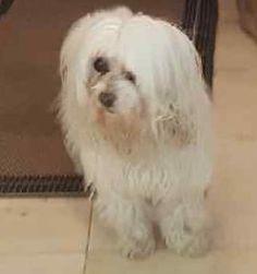 Lost Dog - Maltese - Miami, FL, United States