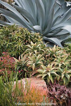 Drought tolerant tender succulent garden wiith Aloe and Agave in Jeff Moore Southern California garden