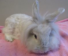 Petfinder  Adoptable | Rabbit | Lionhead | Pittsburgh, PA | Windy