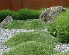 Azorella trifurcata - atsorella