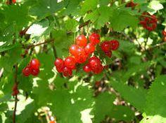 GROSEILLE : culture, entretien et récolte avec les jardiniers professionnels