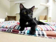 Wow, am I glad to be here! Now that I'm at the SPCA, I'm one step closer to reaching my dream of finding a home to call my own forever. My name is Leland and I arrived here from another shelter recently, so I am definitely ready to settle down with a loving family. I am a neutered male, black Domestic Shorthair and I am about 1 year and 4 months old. (ID#A075304)