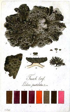 Color – Multi – Botanical 10    Lichen color plates. Svenska lafvarnas färghistoria : eller sättet att använda dem till färgning och annan hushållsnytta (1805).