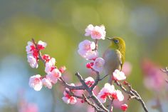 Spring colors - Japanese white-eye and plum blossoms