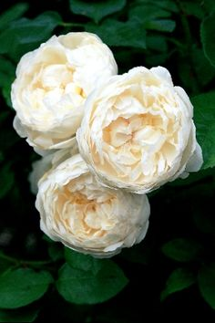 ♔ Glamis Castle ~ David Austin English rose; very prone to blackspot and therefore discontinued. Suggested alternative Winchester Cathedral! New rose, but which one ?