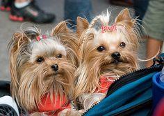 Canine royalty