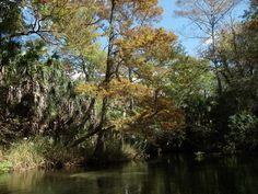 https://flic.kr/p/aEPuyT | Fall Gold along Juniper Springs Run