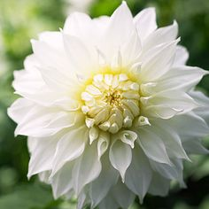 Dahlia 'Snowbound' - A decorative dahlia with massive blooms measuring 9 inches across.