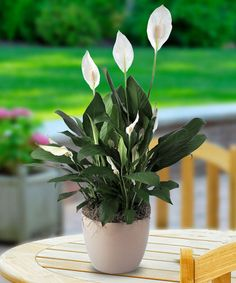 Spathiphyllum or Peace Lily Buy indoor and outdoor plants Diy Flowers, Flower Vases, Plantas Indoor, Chlorophytum, Plantas Bonsai, Growing Plants Indoors, Decoration Plante, Plant Information, Ornamental Plants