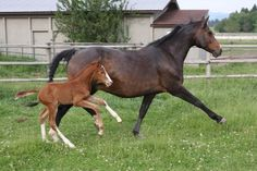 Welcome to Tower Lane Farm, Home of Dutch Warmblood Stallion Versache