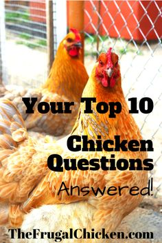 What Do Chickens Eat? If You're a new chicken owner, you probably have a million questions. Here's the most frequently asked questions I get, and their answers! From FrugalChicken