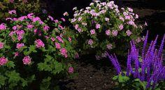 Neon Flash Spirea, Spirea and Caradonna  Salvia...#3Dlandscapedesign