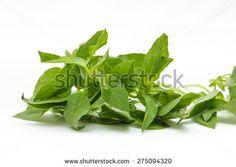 ?Hoary basil or lemon basil - stock photo