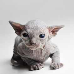 This adorable newborn sphynx kitten just recently opened its eyes for the first time.