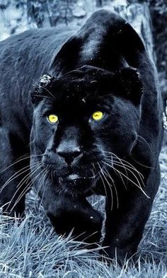 Black panthers hunting - Google Search