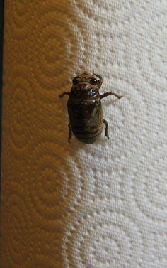 Cicada_molting_animated.gif (320×512)