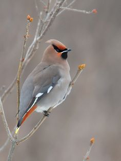 The Bohemiam Waxwing - Bombycilla garrulus, is a passerine bird. It breeds in coniferous forests throughout the most northern parts of Europe, Asia and western North America.