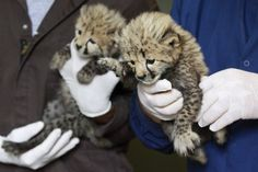 A one-month-old female cheetah cub, left, delivered via a rare caesarian section, and her brother, right, delivered naturally but then abandoned by their mother, are held by their keepers after a feed