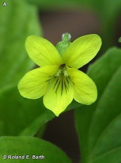 DOWNY YELLOW VIOLET / Viola pubescens on Fontenelle Forest Nature Search