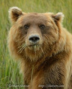 A close up portrait of a grizzly bear feeding on sedge in the valley Love Bear, Big Bear, Ours Grizzly, Grizzly Bears, Animals Beautiful, Cute Animals, Wild Animals, Baby Animals, Bear Face