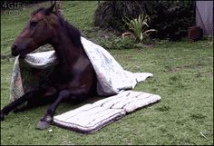 Horse putting himself down for a nap, flashing a smile when he is done