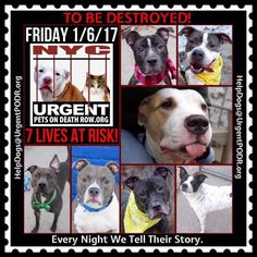 TO BE DESTROYED 01/06/17 - - Info  Please Share: To rescue a Death Row Dog, Please read this:http://information.urgentpodr.org/adoption-info-and-list-of-rescues/  To view the full album, please click here:http://nycdogs.urgentpodr.org/tbd-dogs-page/ -  Click for info & Current Status: http://nycdogs.urgentpodr.org/to-be-destroyed-4915/