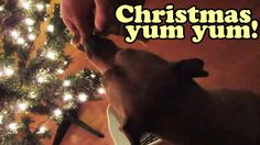 VIDEO of DOG during Christmas Holiday Season OPENING PRESENTS / GIFT / GIFTS Food Treats .. very cute funny dogs videos