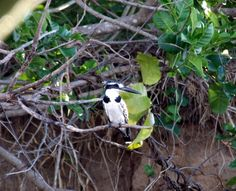 Pied Kingfisher Kingfisher, Tanzania, Bird, Animals, Animais, Animales, Animaux, Common Kingfisher, Birds