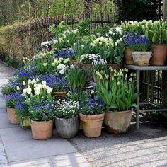 tulips garden care White tulips and forget-me-nots tulips g. - Garden Care tips, Garden ideas,Garden design, Organic Garden Garden Cottage, Garden Pots, Tulips Garden, Potted Garden, Garden Sheds, Garden Spaces, Container Plants, Container Gardening, Small Gardens