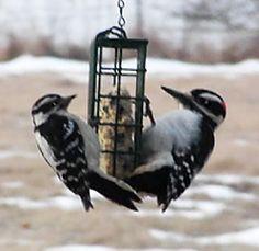 Downy woodpecker and Hairy Woodpecker
