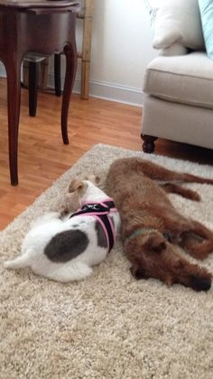 Daisy with big brother RILEY the Irish Terrier. Beautiful dogs- my two favourite breeds- lucky you !