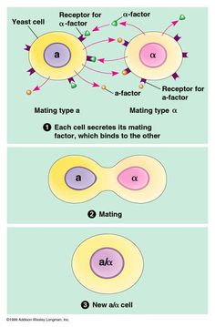 ap bio essays cell communication Ap biology essay questions the following is a comprehensive list of essay questions that have been asked on past (cell structure and function, cell division.