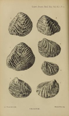 fossil Trigoniae, from The Quarterly journal of the Geological Society of London, 1885