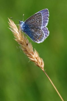 common blue butterfly  www.sussexwildlifetrust.org.uk
