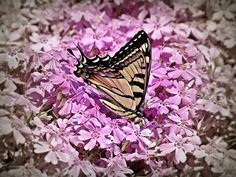 Tiger Swallowtail Butterfly enjoys a carpet of Creeping Phlox flowers in Spring at our New Hampshire Garden in New England.