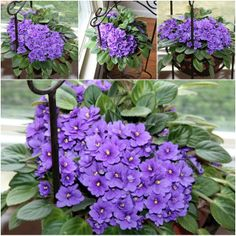 Houseplants for Better Sleep With A Grateful Prayer And A Thankful Heart: African Violets Show and Tell Friday Container Gardening, African Violets Plants, Flowers, Herbaceous Perennials, Flower Seeds, Perennials, Plants, Planting Flowers, Bonsai Seeds