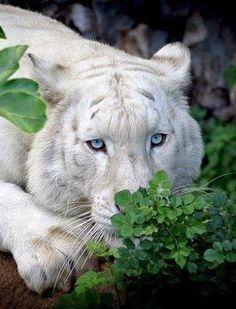 The eyes of a white tiger..