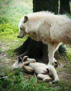 The little pup rolled onto it's back, waving little paws in the air for its mother's attention