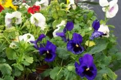 Edible Pansies (and other flowers). Photo by Steve Andrews