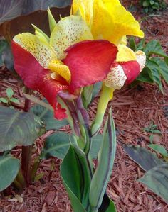 Canna Lily Seeds - CLEOPATRA - Cannaceae - Great Potted Plant - 4 Fresh Seeds