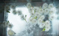 たんぽぽの綿毛ドライの作り方 の回 | Lotus Flower リンゴカンチ Nature Crafts, Bloom, Flowers, Plants, Painting, Image, Bullet Journal, Education, Indoor
