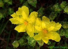 These delicate flowers looked so fragile, yet so beautiful, waterlogged after the rain Delicate, Rain, Yellow, Flowers, Plants, Beautiful, Rain Fall, Plant, Waterfall