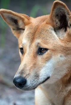Australian Animals, Australian Cattle Dog, Dingo Dog, African Wild Dog, Wild Dogs, Animal Photography, Habitats, Dog Breeds, Dogs And Puppies
