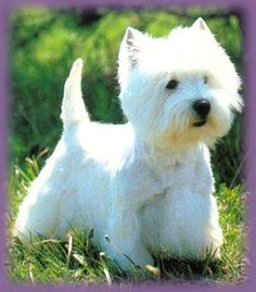 have an adorable Westie West Highland Terrier, Baby Dogs, Pet Dogs, Dogs And Puppies, Doggies, White Puppies, White Dogs, Westies, Little Dogs